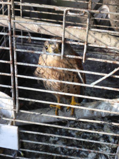 tierquaelerische-haltung-eines-turmfalken-in-niederau-c-komitee-gegen-den-vogelmord